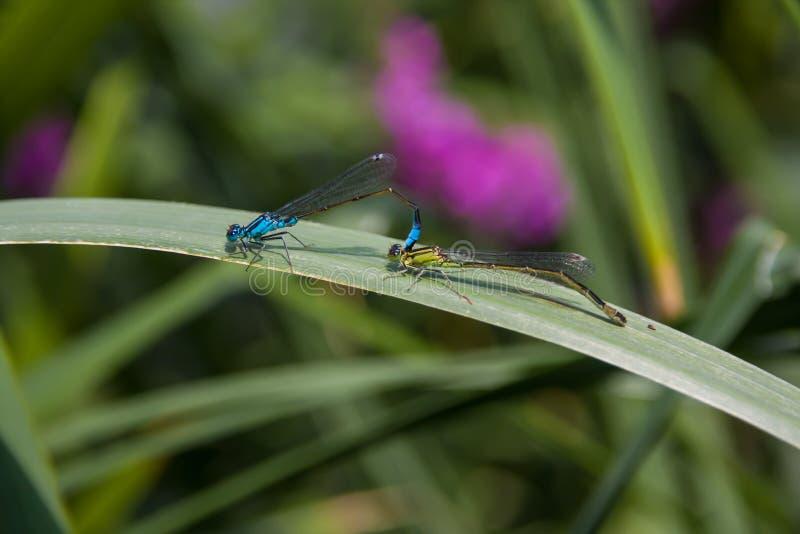 Dwa Dragonfly płeć obrazy stock
