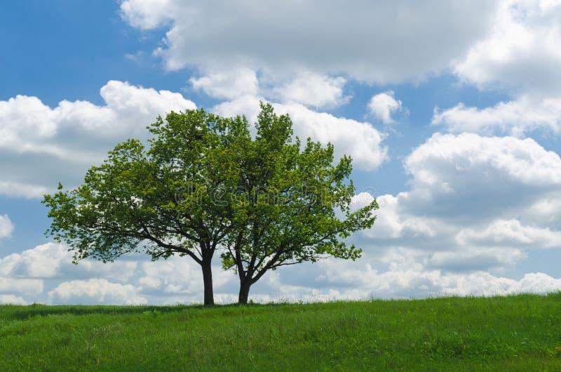 Dwa drzewa przeciw niebu z chmurami obraz royalty free