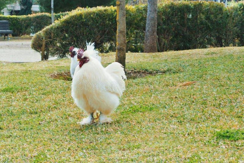 Dwa dużego białego kogutów kogutów kurczaka chodzi w zielenieją suchego g obraz stock