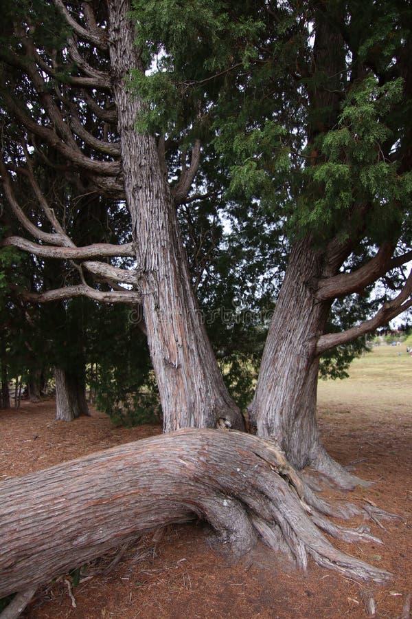 Dwa dużego drzewa i spadać drzewo fotografia royalty free