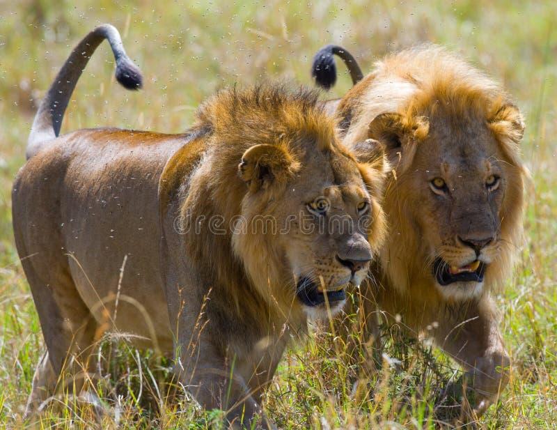 Dwa dużego męskiego lwa na polowaniu Park Narodowy Kenja Tanzania mara masajów kmieć zdjęcia royalty free