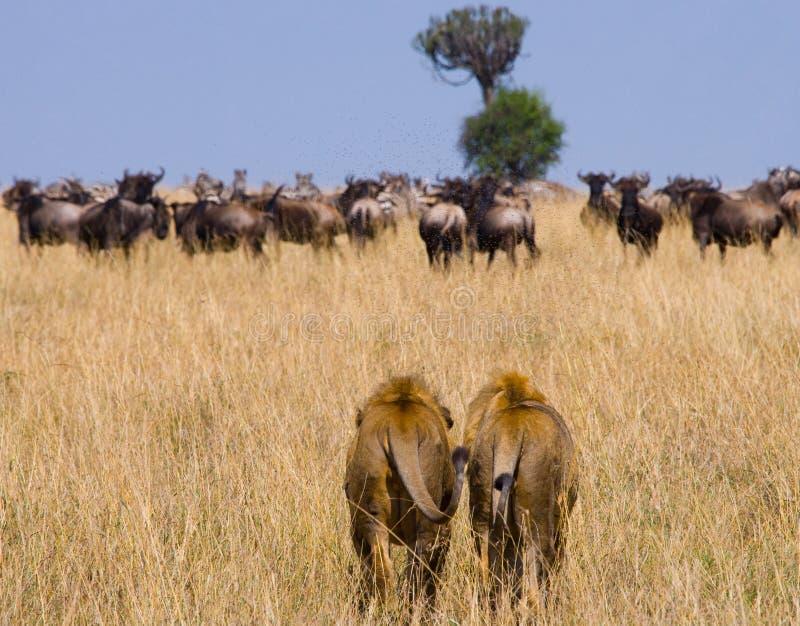 Dwa dużego męskiego lwa na polowaniu Park Narodowy Kenja Tanzania mara masajów kmieć obrazy stock
