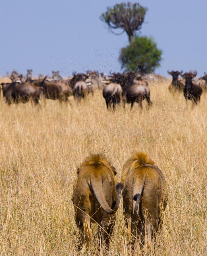 Dwa dużego męskiego lwa na polowaniu Park Narodowy Kenja Tanzania mara masajów kmieć zdjęcie royalty free