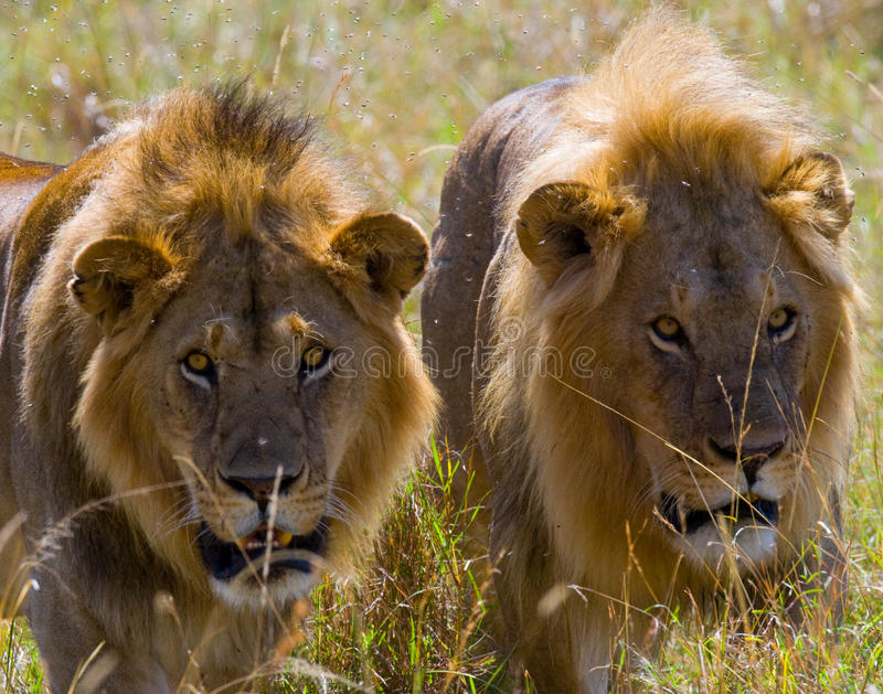 Dwa dużego męskiego lwa na polowaniu Park Narodowy Kenja Tanzania mara masajów kmieć zdjęcia stock
