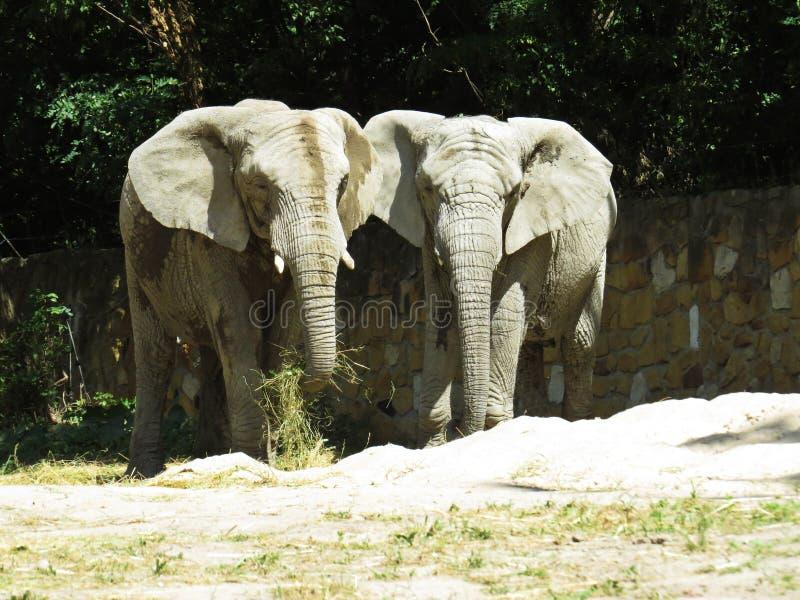 Dwa Dużego Ogromnego słonia Wpólnie w miłości zakończeniu fotografia royalty free