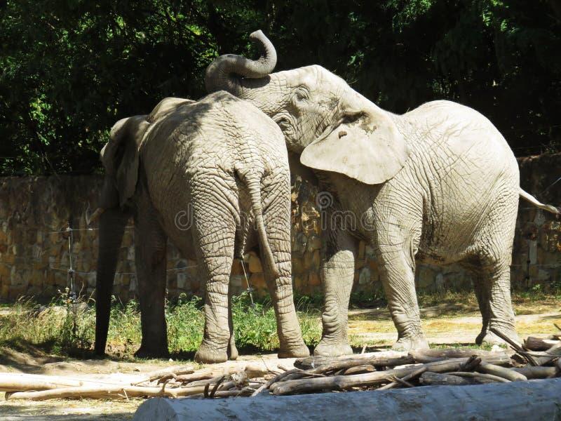 Dwa Dużego Ogromnego słonia Wpólnie w miłości zakończeniu zdjęcie stock