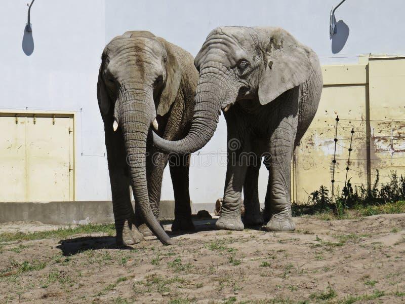 Dwa Dużego Ogromnego słonia Wpólnie w miłości zakończeniu fotografia stock