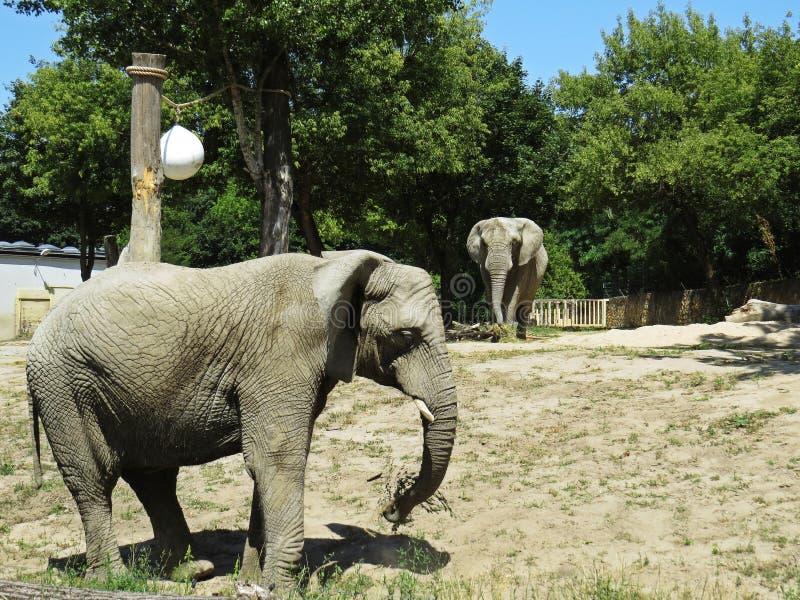 Dwa Dużego Ogromnego słonia Wpólnie wewnątrz Blisko do Each Inny obrazy royalty free