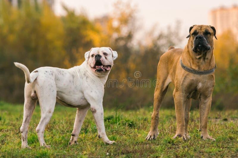 Dwa dużego psa na miastowym gazonie obraz stock