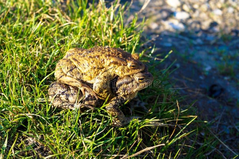 Dwa dużej żaby wygrzewają się w słońcu obrazy stock