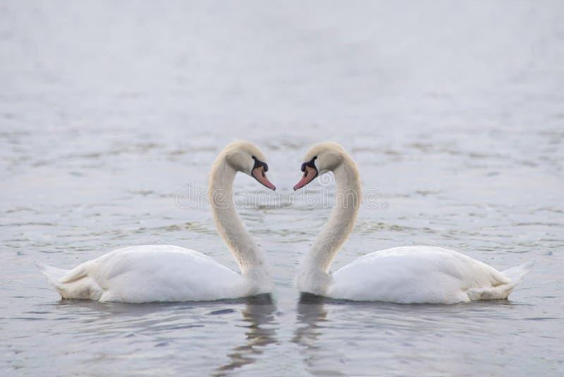 Dwa duży biały łabędź na wodzie fotografia royalty free