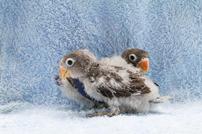Dwa dziecka lovebirds na błękitnym sukiennym tle zdjęcie royalty free