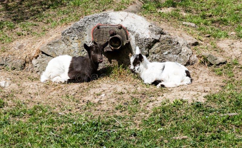 Dwa dziecko kózki odpoczywa w dół i kłaść blisko kamienia w wśrodzie zielona trawiasta łąka obraz stock