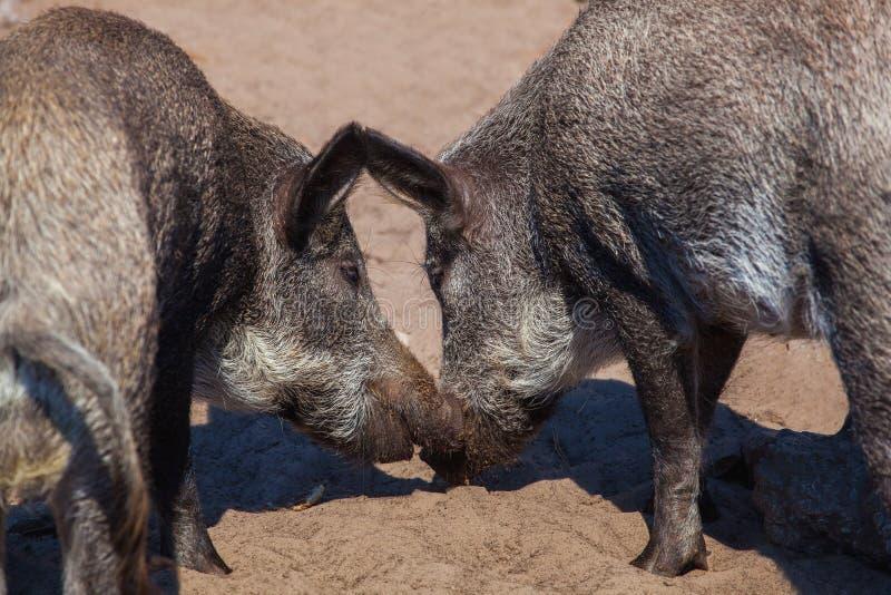 Dwa dziki knur jest each innym dyszą jedzą posiłek zdjęcie royalty free