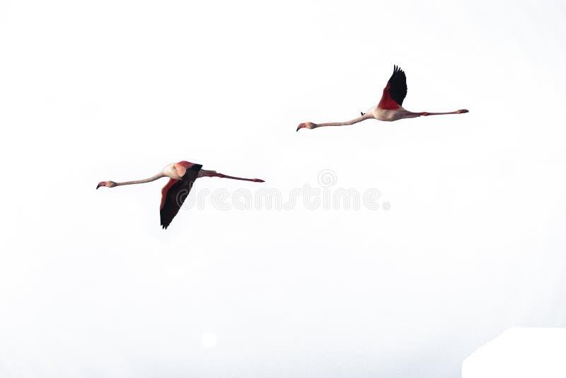 Dwa dziki Wielki flaming, Phoenicopterus roseus wycinanka obrazy stock