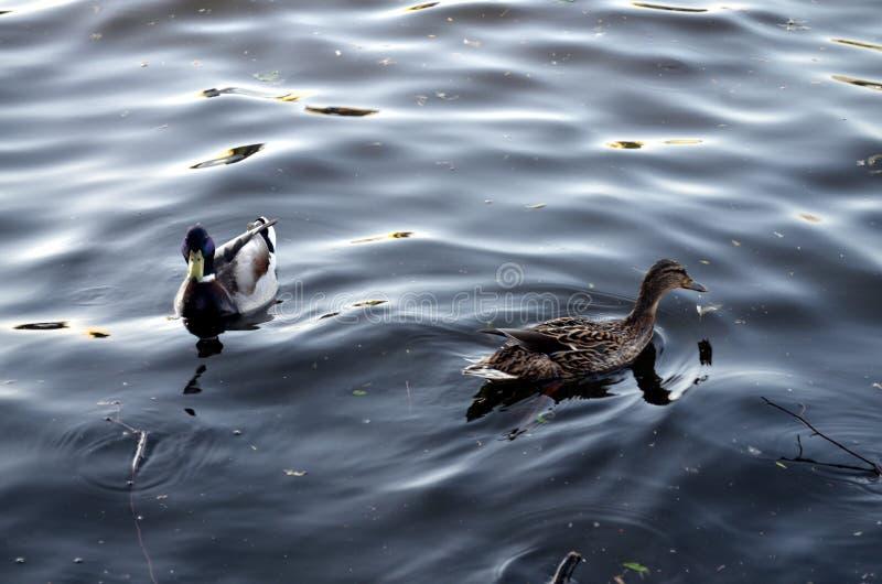 Dwa dzikich kaczek swimmin na rzece fotografia stock