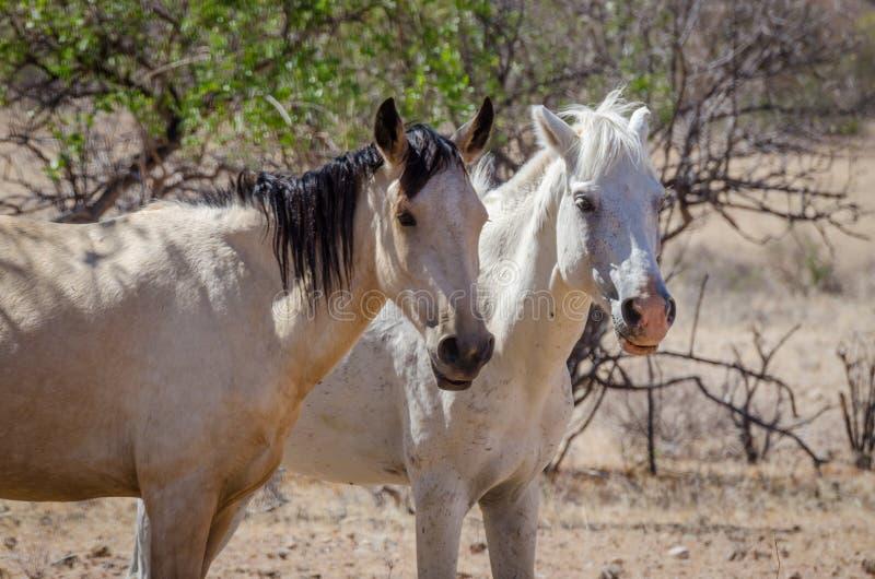 Dwa dzikiego konia wędruje przez Namib pustyni Angola obraz stock