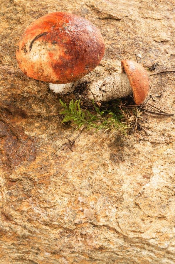 Dwa dzikiej pieczarki na kamieniu zdjęcie royalty free