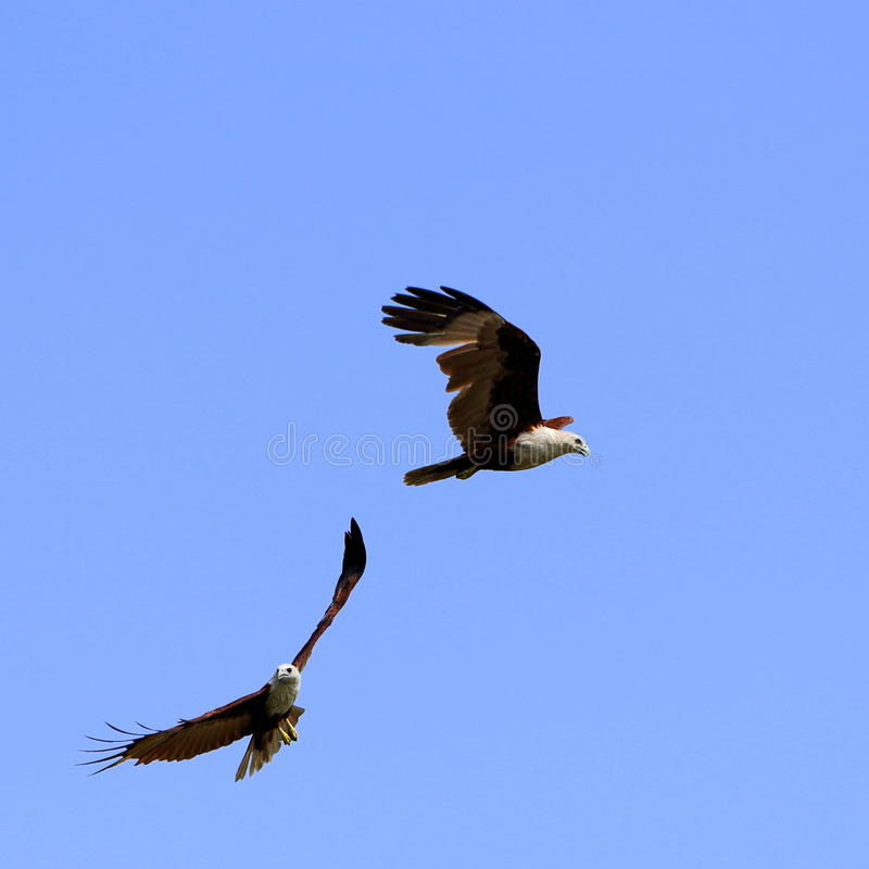 Dwa Eagles latanie Pod niebieskim niebem zdjęcia stock