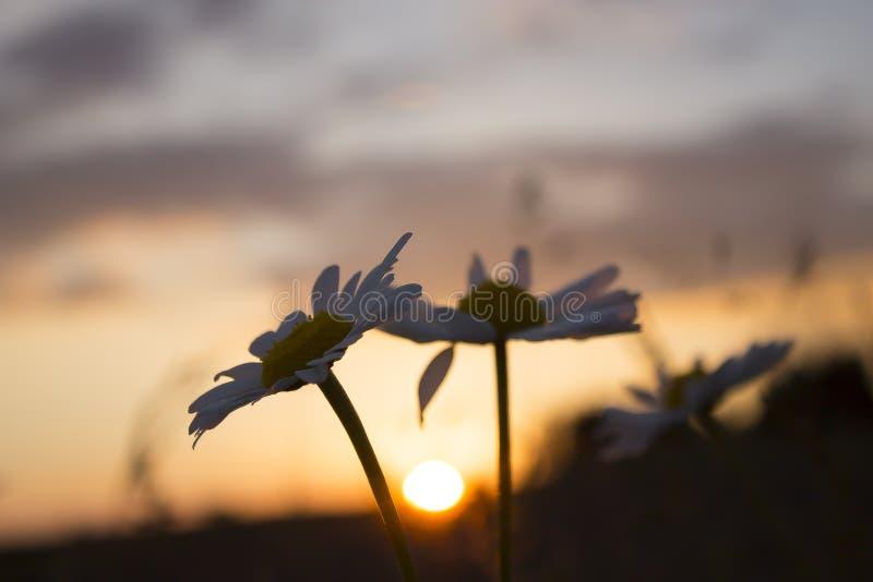 Dwa epickiego kwiatu w zmierzchu obraz royalty free