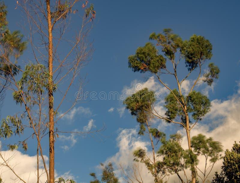 Dwa eukaliptusowego drzewa przeciw niebieskiemu niebu fotografia royalty free