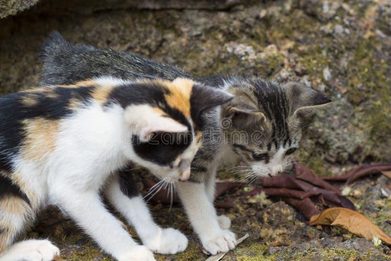 Dwa figlarek spojrzenie przy kijem na ziemi Bezdomny koci się sztukę z insektem Figlarnie kotów dzieci zdjęcie royalty free