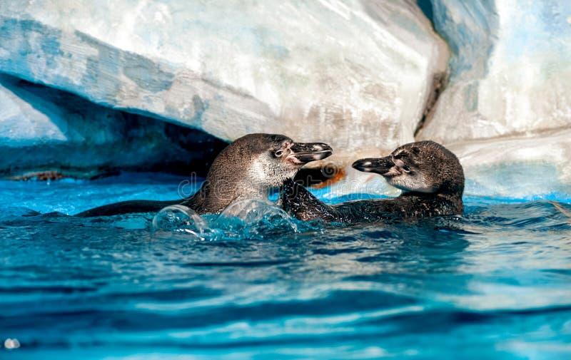 Dwa figlarnie Humboldt pingwinów Peruwiański pingwin lub Patranca unosi się na błękitne wody powierzchni fotografia stock