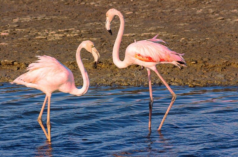 Dwa flaminga kochanka w lagunie zdjęcia royalty free