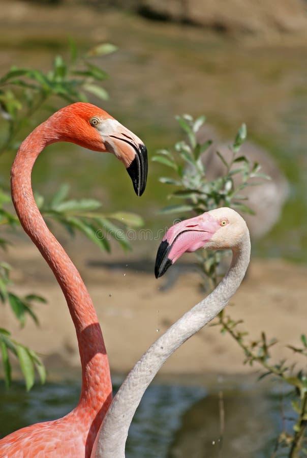 Dwa flaminga patrzeje each inny obrazy stock