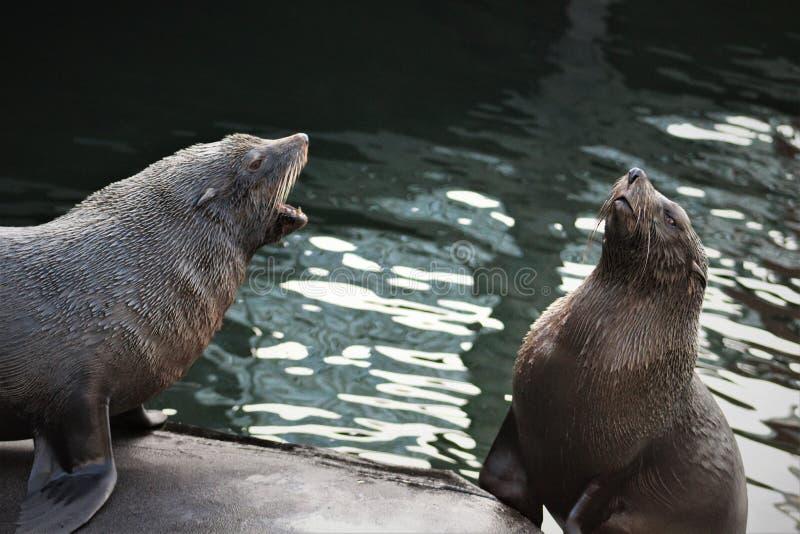 Dwa foki ma gorącą dyskusję zdjęcie stock