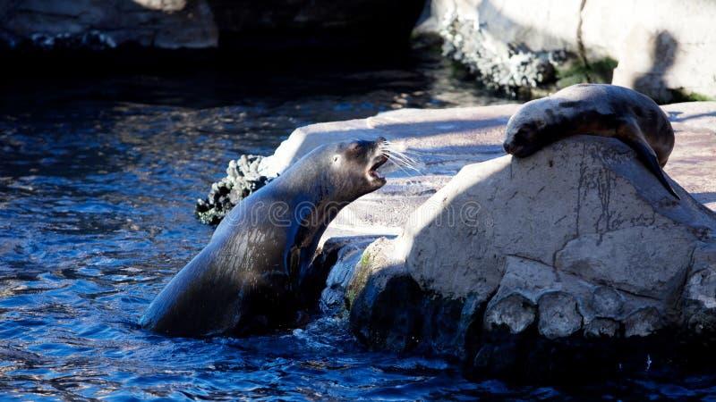 Dwa foki w natura parku, śmieszna scena zdjęcia royalty free
