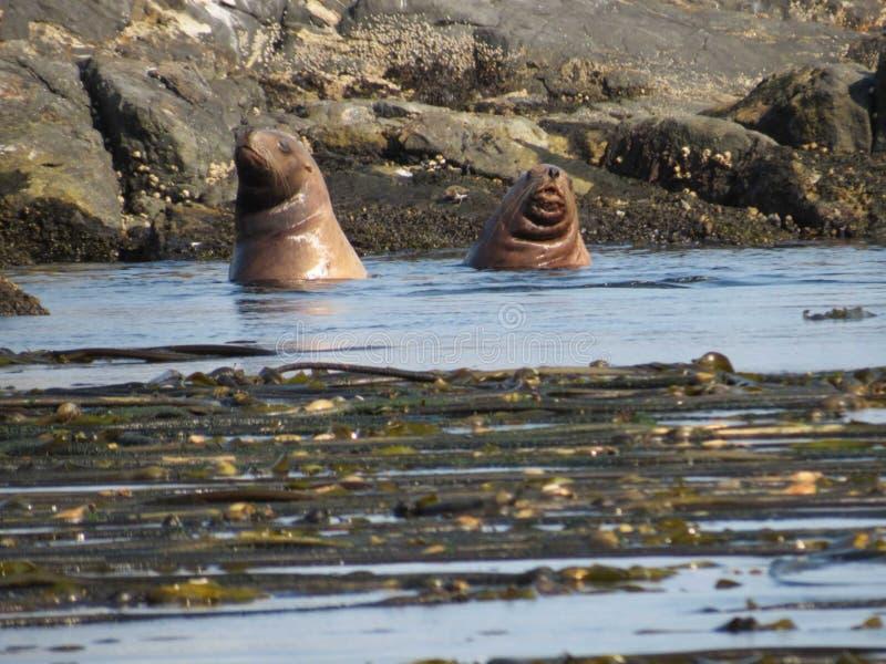 Dwa foki w oceanie obrazy royalty free