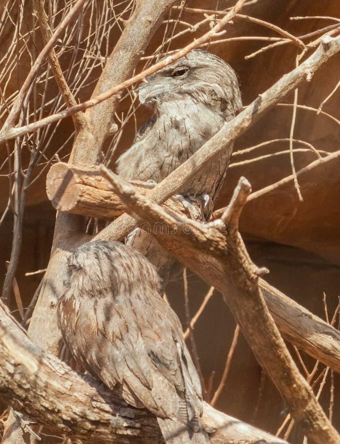 Dwa Frogmouths Tawny (Podargus Strigoides) zdjęcie royalty free