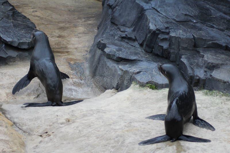 Dwa futerkowej foki na plaży obrazy royalty free