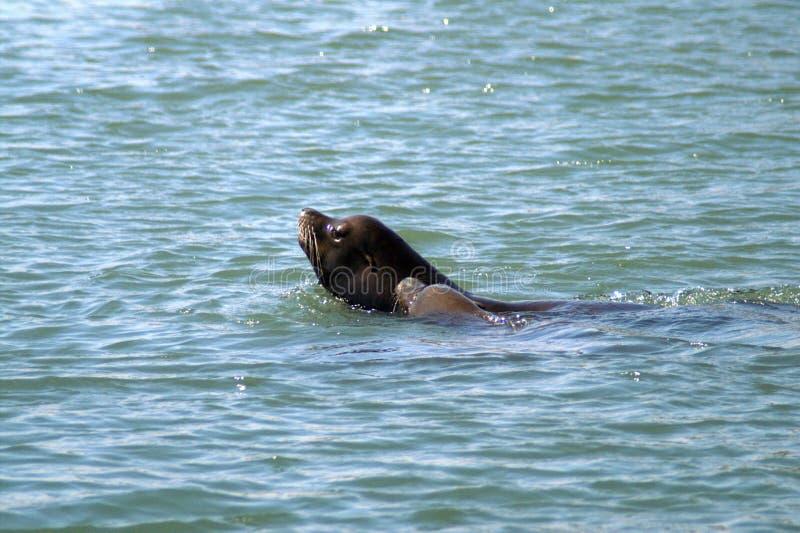 Dwa futerkowej foki w otwartym morzu fotografia royalty free