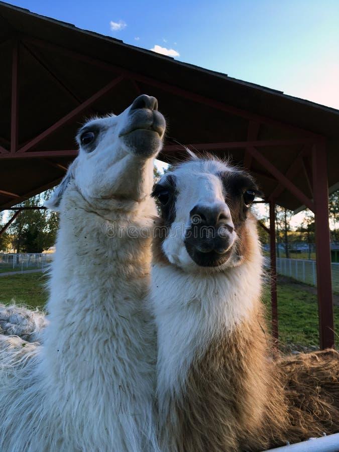 Dwa głowa lama, zbliżenie portret, biały zdjęcia royalty free
