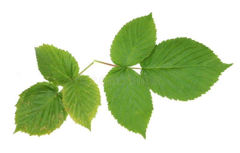 dwa gałąź z zielonymi malinowymi liśćmi odizolowywają białego backgroun zdjęcia stock