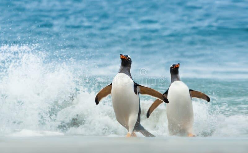 Dwa Gentoo pingwinu przychodzi na ląd od Atlantyckiego oceanu obraz royalty free