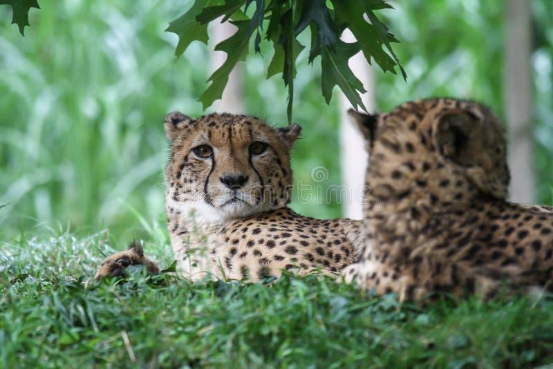 Dwa geparda kłama w trawie zdjęcie stock