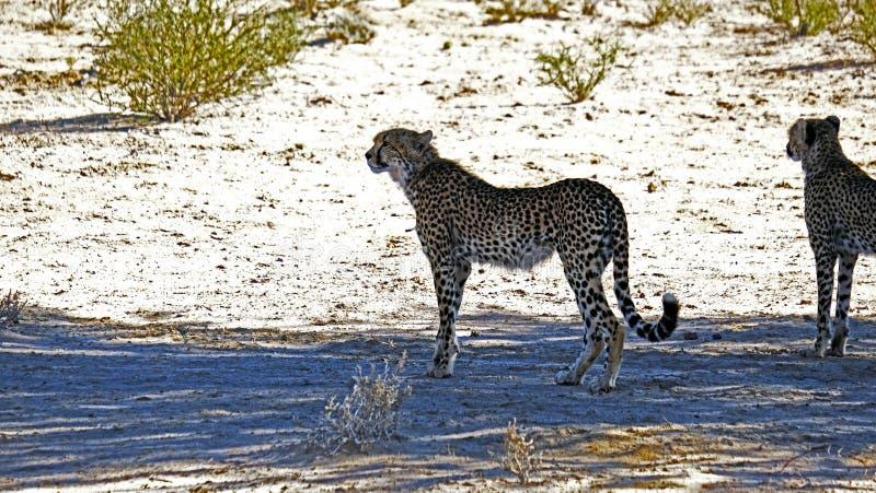 Dwa geparda rusza się w suchym krajobrazie w Kalahari pustyni w Kgalagadi Transfrontier Parkowy b obraz royalty free