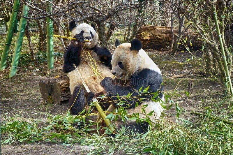 Dwa gigantycznej pandy uroczy niedźwiedź je bambusa zdjęcie royalty free