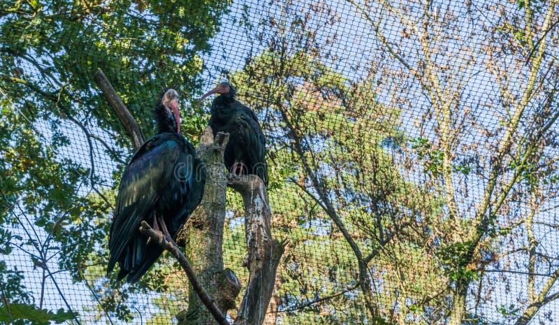 Dwa glansowanego czarnego północnego łysego eremity ibisa ptaka siedzi w drzewnego odgórnego zadziwiającego zbliżenia ptasim port obraz royalty free