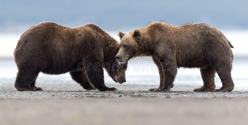 Dwa gniewnego grizzly niedźwiedzia rozważają zaczynać walkę zdjęcie royalty free