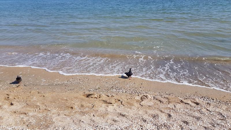 Dwa gołębia chodzą denną kipieli linią brzegową Czarna morze plaża zdjęcie royalty free