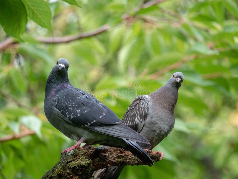 Dwa gołębia na gałąź zdjęcie stock
