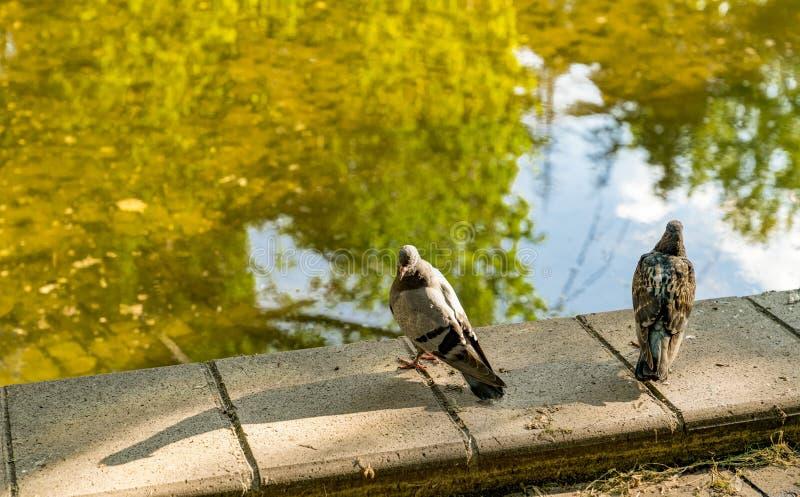 Dwa gołębia siedzi na krawędzi fontanny z jasną wodą i nimi no ciekawią w each inny Pojęcie obraża gniewnego obraz royalty free