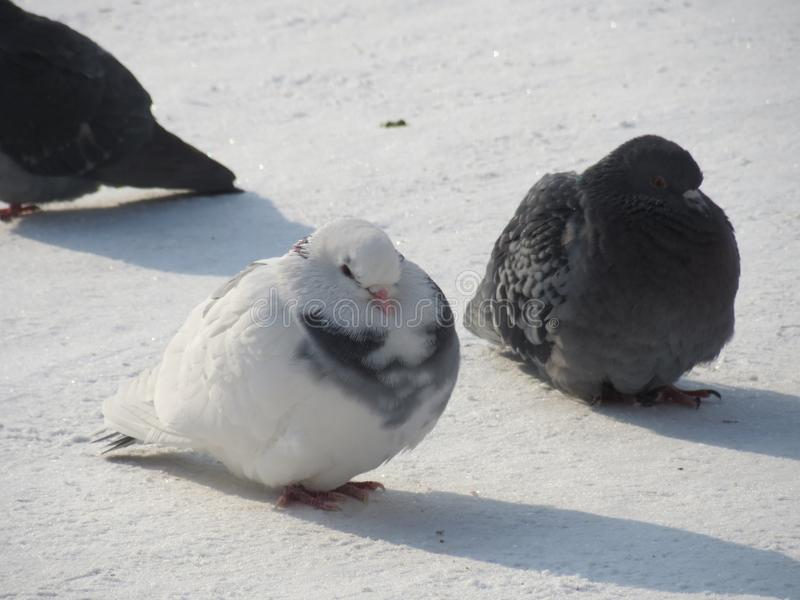 Dwa gołębia w śniegu zdjęcie royalty free