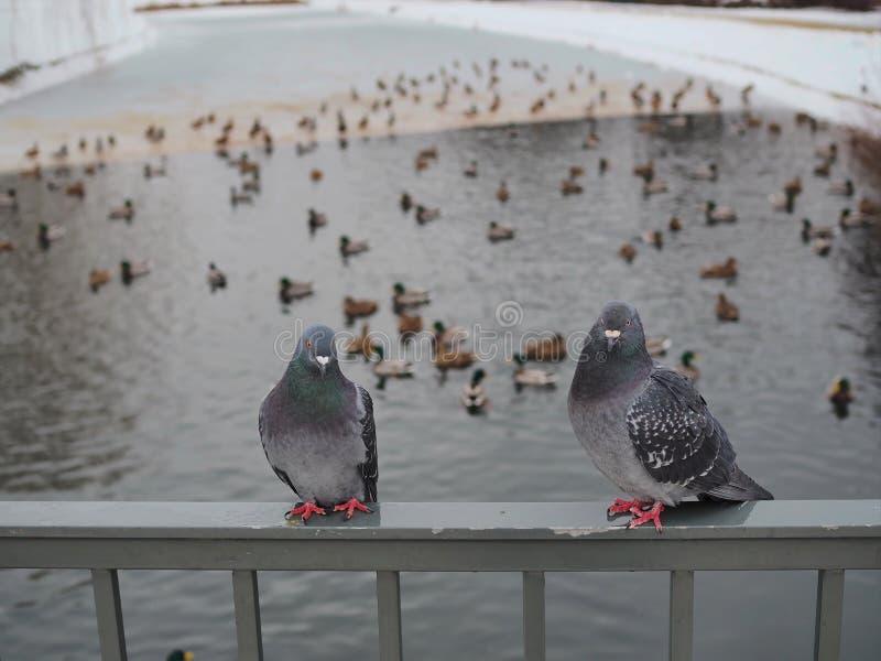 Dwa gołębie czekające na stoku na jedzenie i zachowujące się jak dzikie kaczki fotografia royalty free