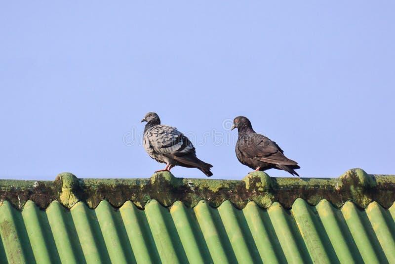 Dwa Gołębie Na Zielonym Dachu obrazy stock