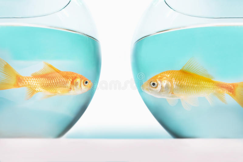 dwa goldfish stawia czoło each inny w oddzielnej ryba rzuca kulą studio strzał zdjęcia royalty free
